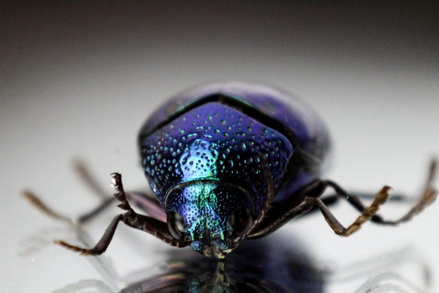 Sternocera Aequisignata