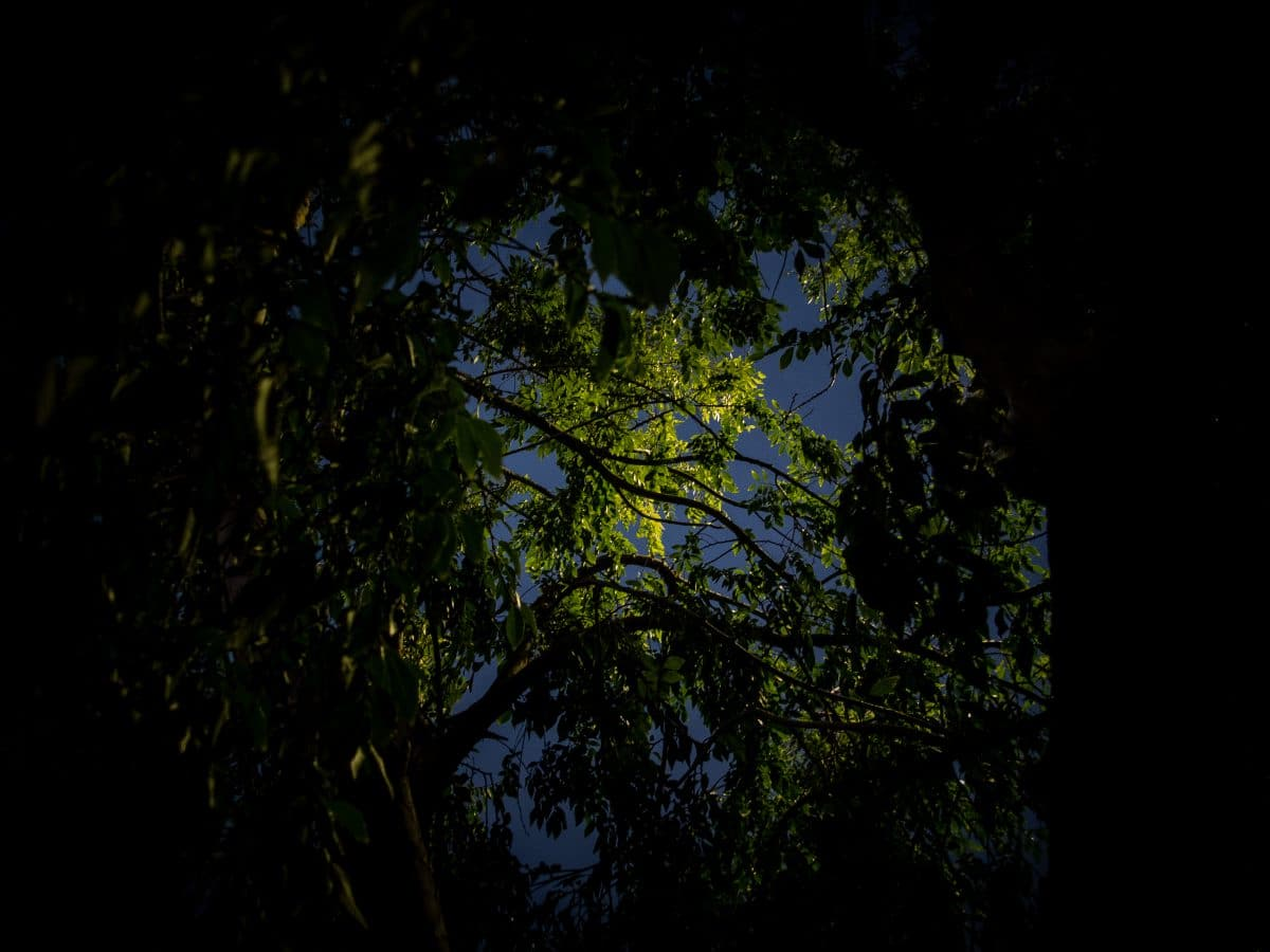 Photograph looking up from under a tree with an opening highlighted with a street light.