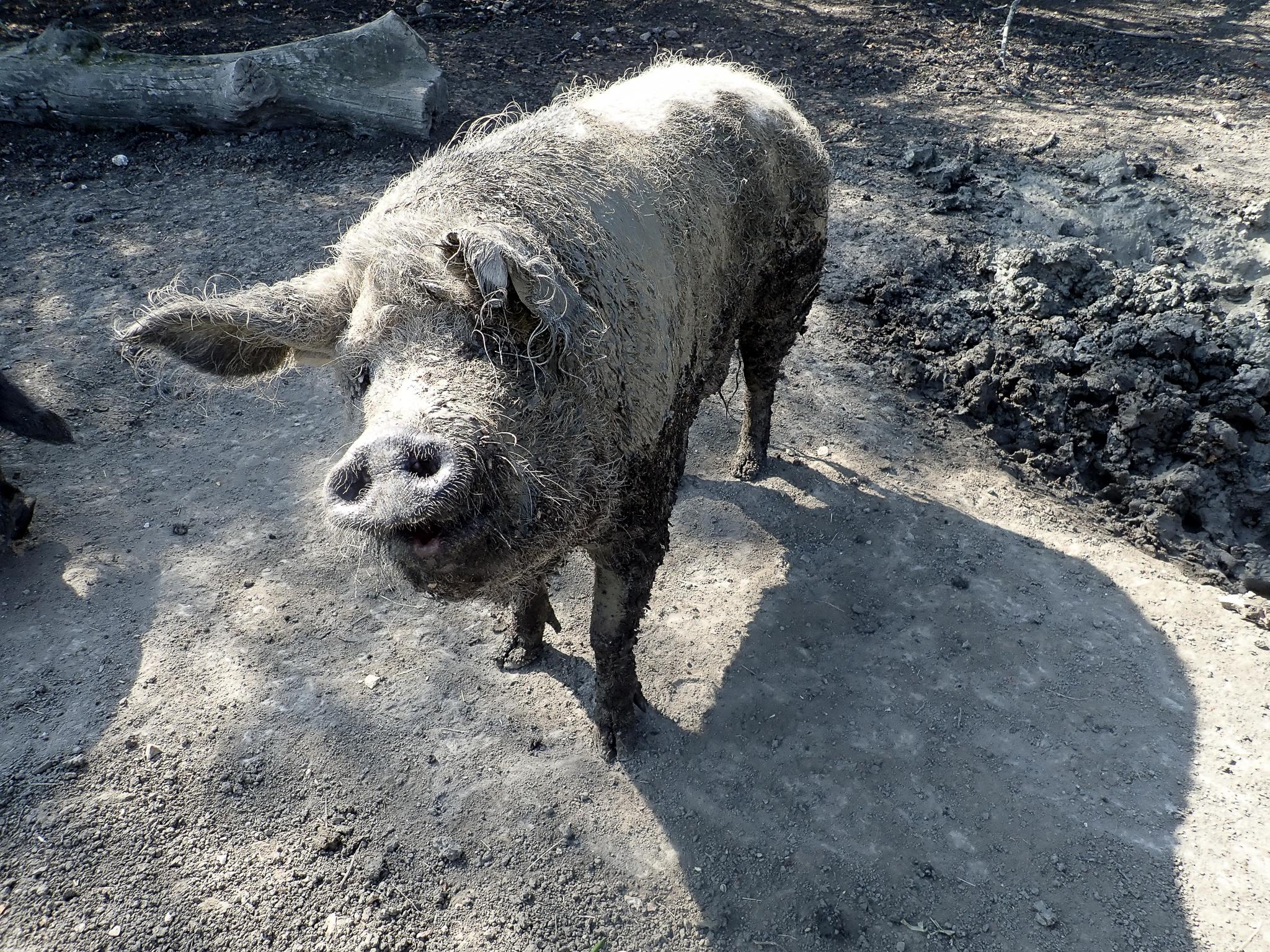 A pig in mud