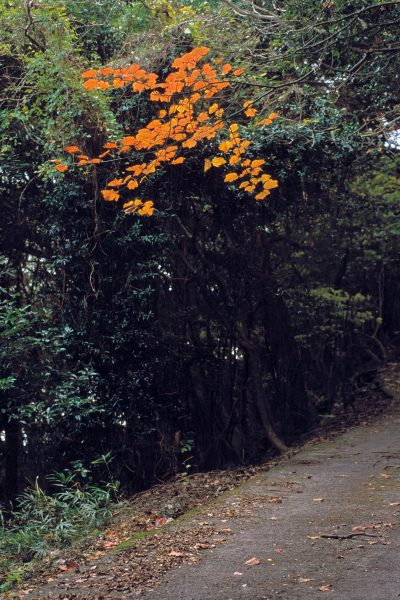 Path with an orange blooming tree
